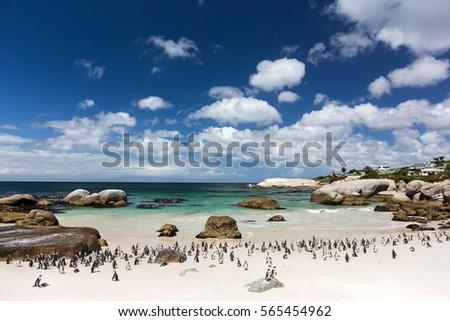 Penguin Colony on the sunny beach. Boulders Beach, near Cape Town, South Africa