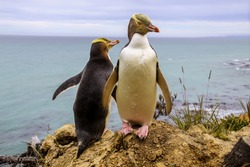 penguin couple at wedding courtship on a cliff on the Otago Peninsula