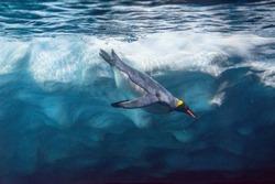 Penguin diving under ice, underwater photography .