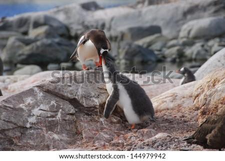 Penguin feeding young in Antarctica