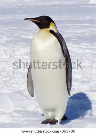 penguins in antarctica. Penguin in Antarctica