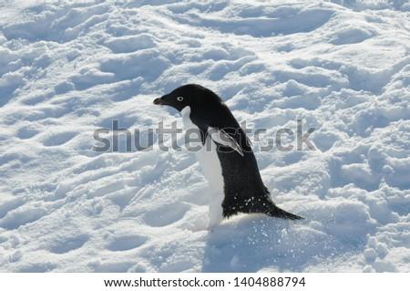 Penguin in Antarctica, Cute Penguin in nature, Walking Penguin
