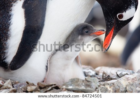 penguin in its nest to protect her cub. Antarctica