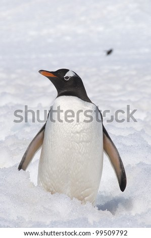 Penguin on the snow