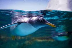 Penguin swimming in water tank. Aquarium and underwater animal.