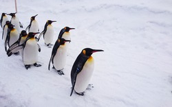 Penguin walk  in Hokkaido Japan  during winter season