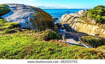 Penguins at Boulders Beach. Boulder Beach is a popular nature reserve and home to a colony of African Penguins, in the village of Simons Town in the Cape Peninsula of South Africa