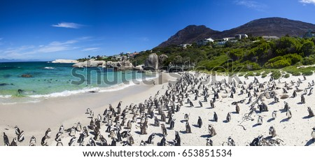 Penguins at boulders beach in Simons Town, Cape Town, Africa #653851534