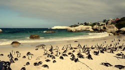 Penguins at Southafrican beach