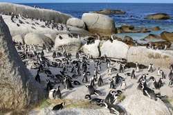 penguins at the boulder beach in south africa