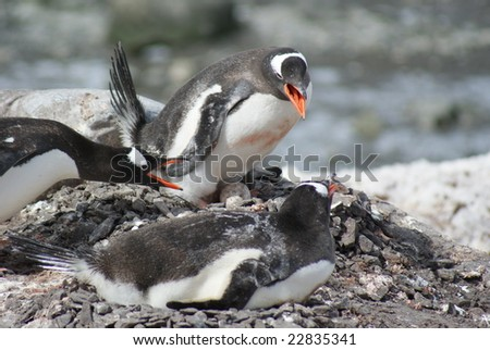 Penguins fighting over egg
