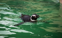 Penguins in a zoo or aquarium swimming above the lovely green fresh water black and white small fish or bird hybrids in captivity in Blackpool England. swimming around happy and un aware