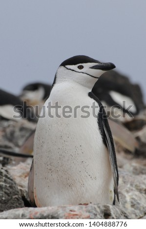 Penguins in Antarctica, Cute Penguins in nature, Penguins with eggs, Walking Penguins