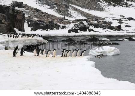 Penguins in Antarctica, Cute Penguins in nature, Penguins with eggs, Walking Penguins,