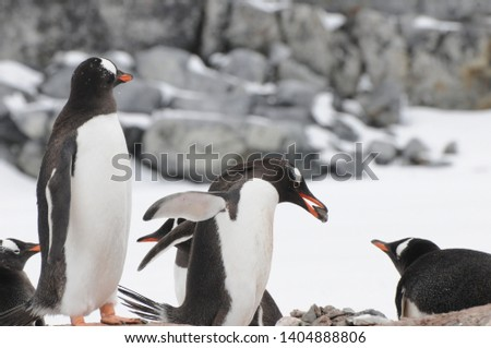 Penguins in Antarctica, Cute Penguins in nature, Walking Penguins