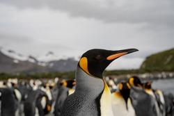 penguins in antarctica, south Georgia