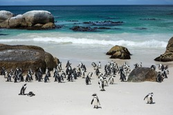 Penguins in the in the Boulders Beach Nature Reserve. Cape Town, South Africa