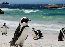 penguins near Simon's Town,South Africa