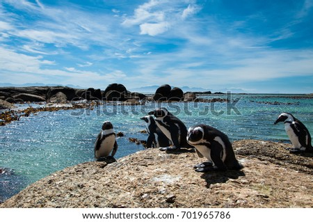 Penguins on vacation at Boulders Beach, Cape Town