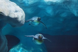 Penguins swimming underwater