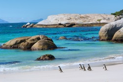Penguins walk on sunny beach. Shot in the Boulders Beach Nature Reserve, near Cape Town, Western Cape, South Africa.