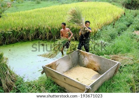 Pengzhou, China - May 9, 2007:  Two Chinese farmers at work in a field harvesting rice by shaking the grains into a large wooden box