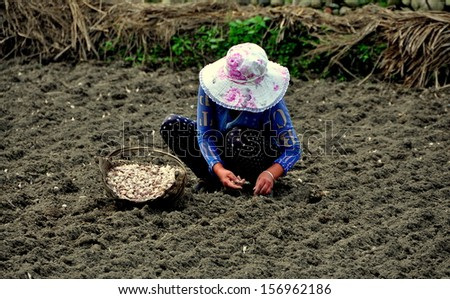 PENGZHOU, CHINA: Woman sitting in a newly plowed field with a basket of garlic cloves sets out each bulb in a neat row for harvest the following Spring
