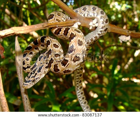 stock photo : Peninsular (Green) Rat Snake, Senticolis