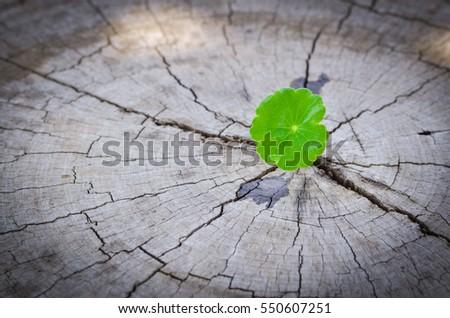 penny wort  born on old tree,  nature stock photo
