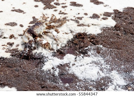 PENSACOLA BEACH - JUNE 23: An oil-stained crab lies dead near oil covered sand on June 23, 2010 in Pensacola Beach, FL