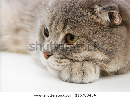 pensive British kitten on white background