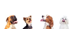 Pensive different dogs looking up isolated on a white background