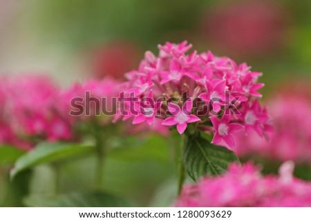 Free Photos Egyptian Star Cluster Star Flower Pink Star Flower