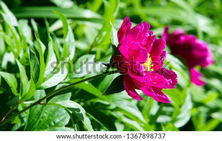 peonies a herbaceous or shrubby plant of north temperate regions, which has long been cultivated for its showy flowers. #1367898737