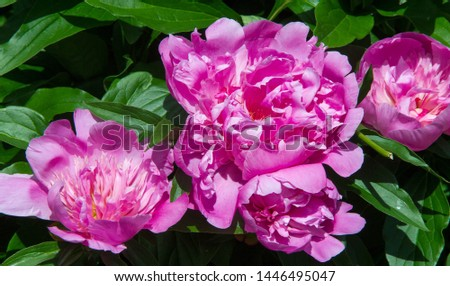 peonies a herbaceous or shrubby plant of north temperate regions, which has long been cultivated for its showy flowers. #1446495047