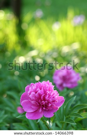Peonies partially shaded in the garden, with late afternoon sun illuminating the background.