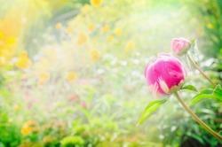 peony bud on blurred sunny garden background, close up