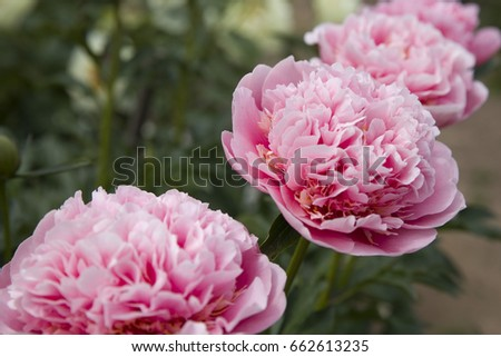 Peony Etched Salmon #662613235
