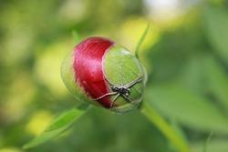 Peony flower bud with spider. Garden peony.