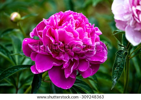 Peony flower, close-up #309248363