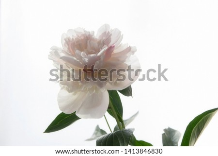 Peony flower closeup on the white background closeup #1413846830