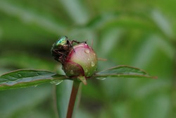 Peony flower.Large Linnaeus beetle crawling on a bud peony flower.Large green hard-winged insect beetle close-up  top view.Beetle, that has a metallic structurally coloured green.brilliant insect.
