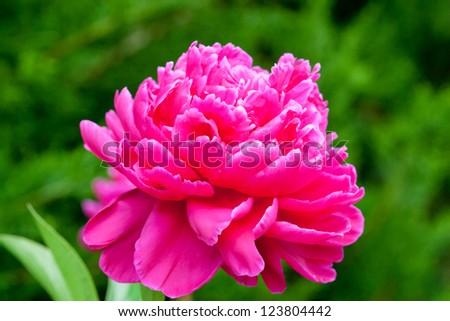 Peony flower. selective focus.