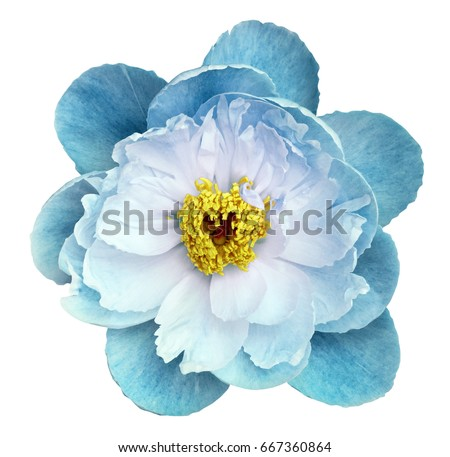 Photo of Peony flower turquoise on a white isolated background with clipping path. Nature. Closeup no shadows. Garden flower.