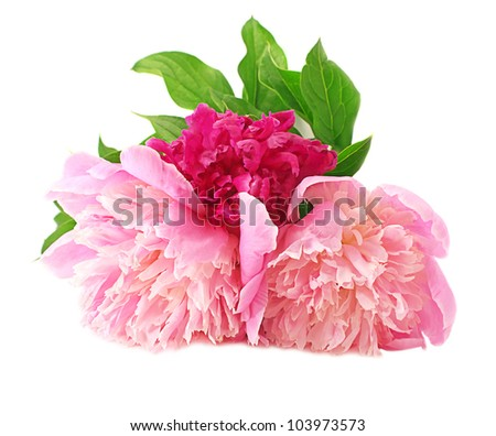 Peony Flowers garden on white background - stock photo