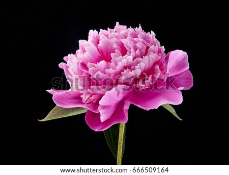 Peony flowers on a black background #666509164