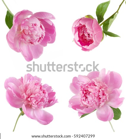 Peony flowers set isolated on white background #592407299