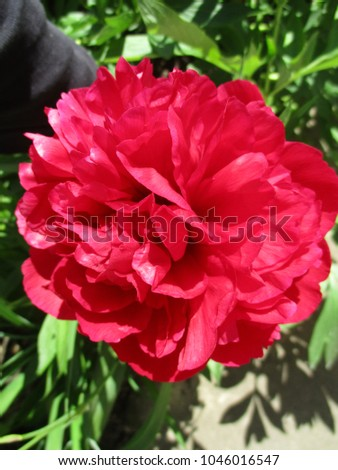 Peony in Russia on a sunny summer day #1046016547