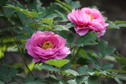 Peony is a beautiful flower.
