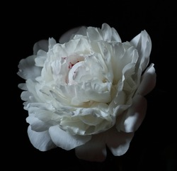 Peony isolated on black background, dark moody floral composition in baroque artistic rembrandt lighting style, vertical, art design concept
